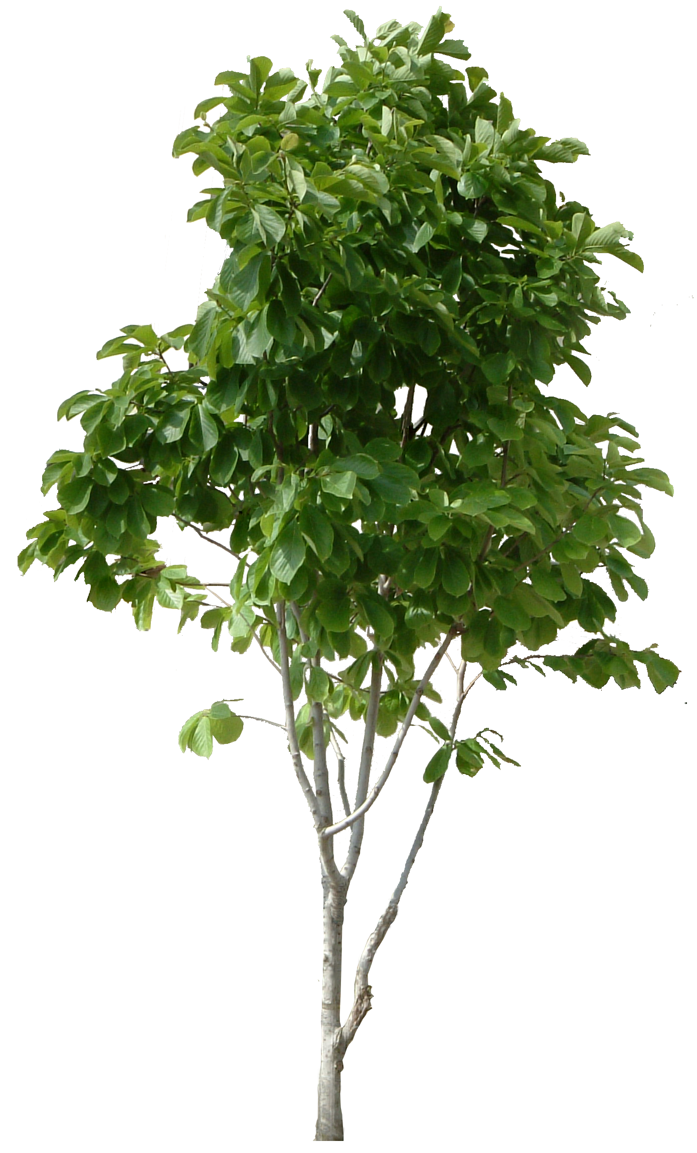 lush tree, tree clipart, maunsell, trees png #8249