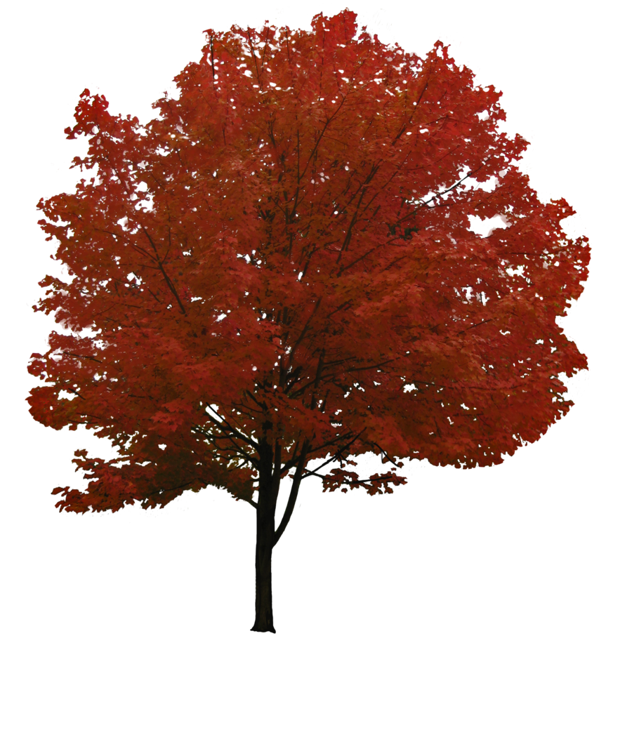 red leaf tree images pictures download #8263