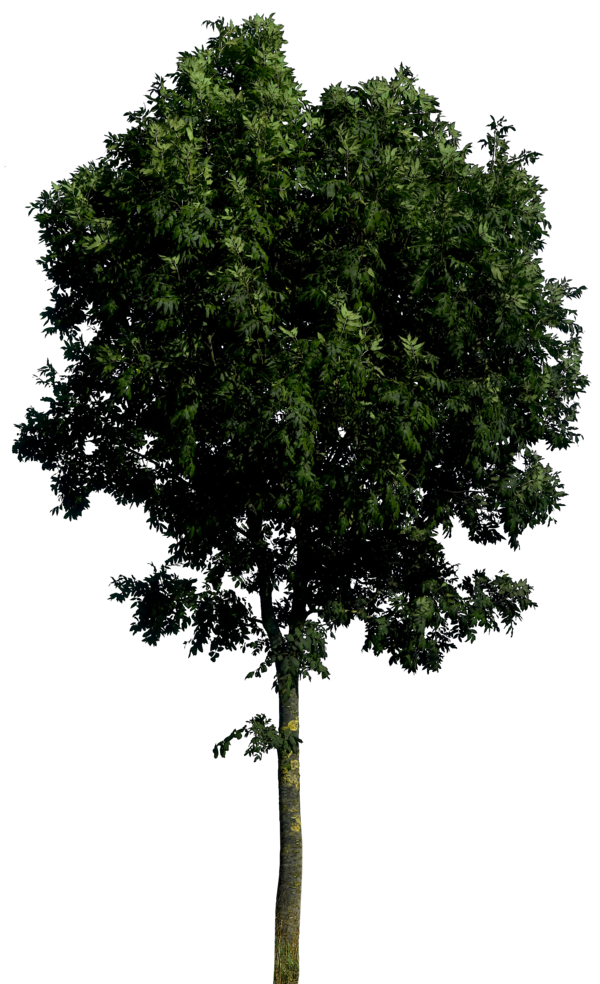 dark trees png background #8268