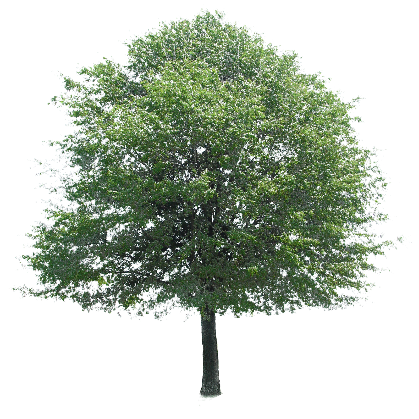 Tree PNG Plant, Plane images #8267