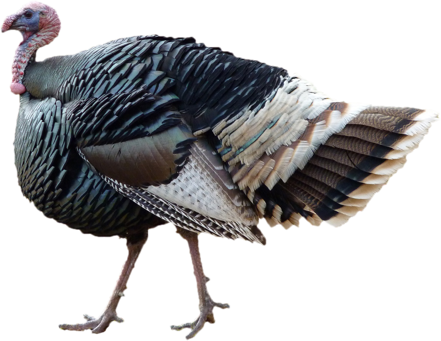 standing thanksgiving day turkey png image #36193