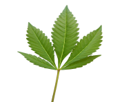 cannabis weed leaf png clipart images #18540