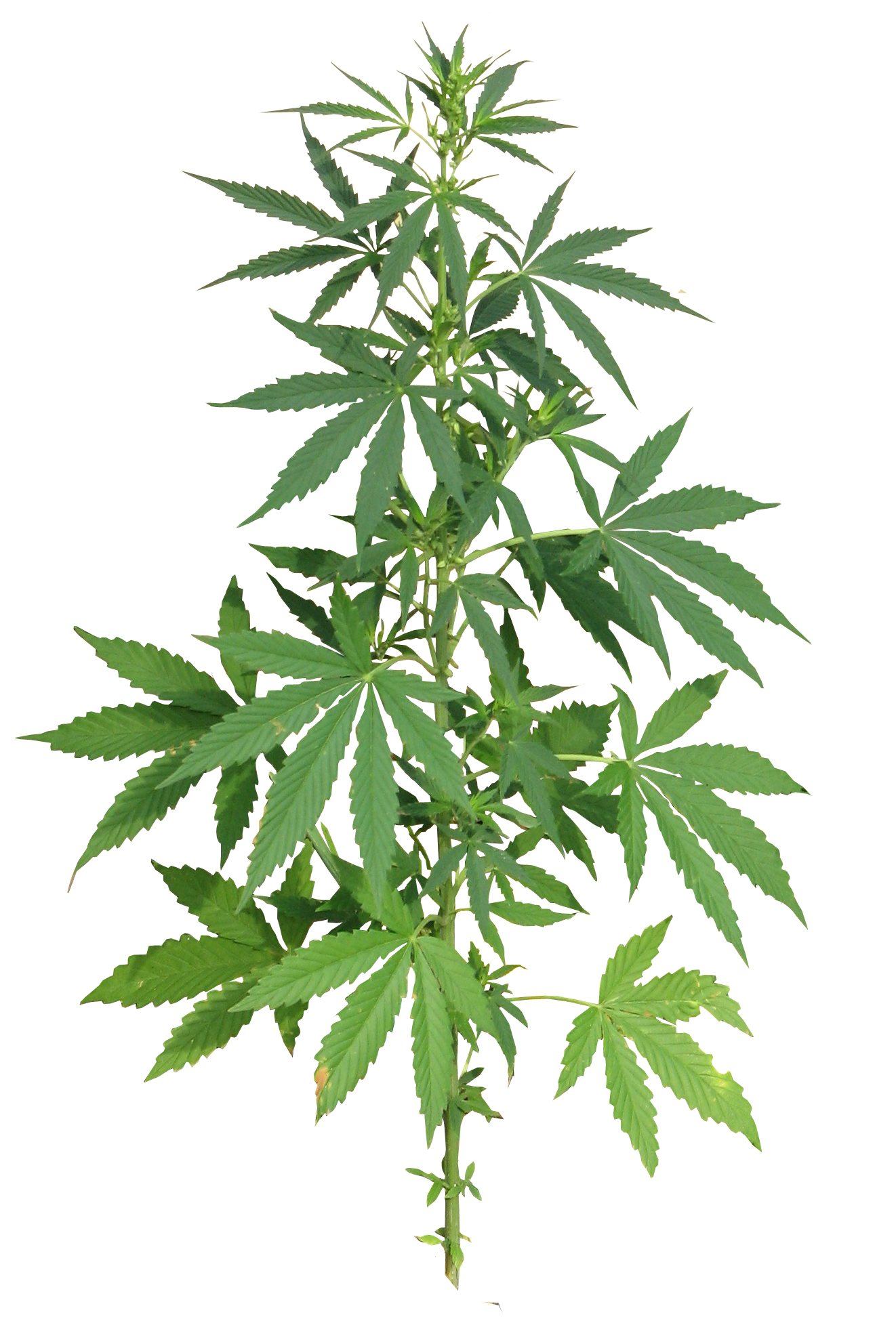 weed leaf, cannabis plant full png image purepng transparent #18521