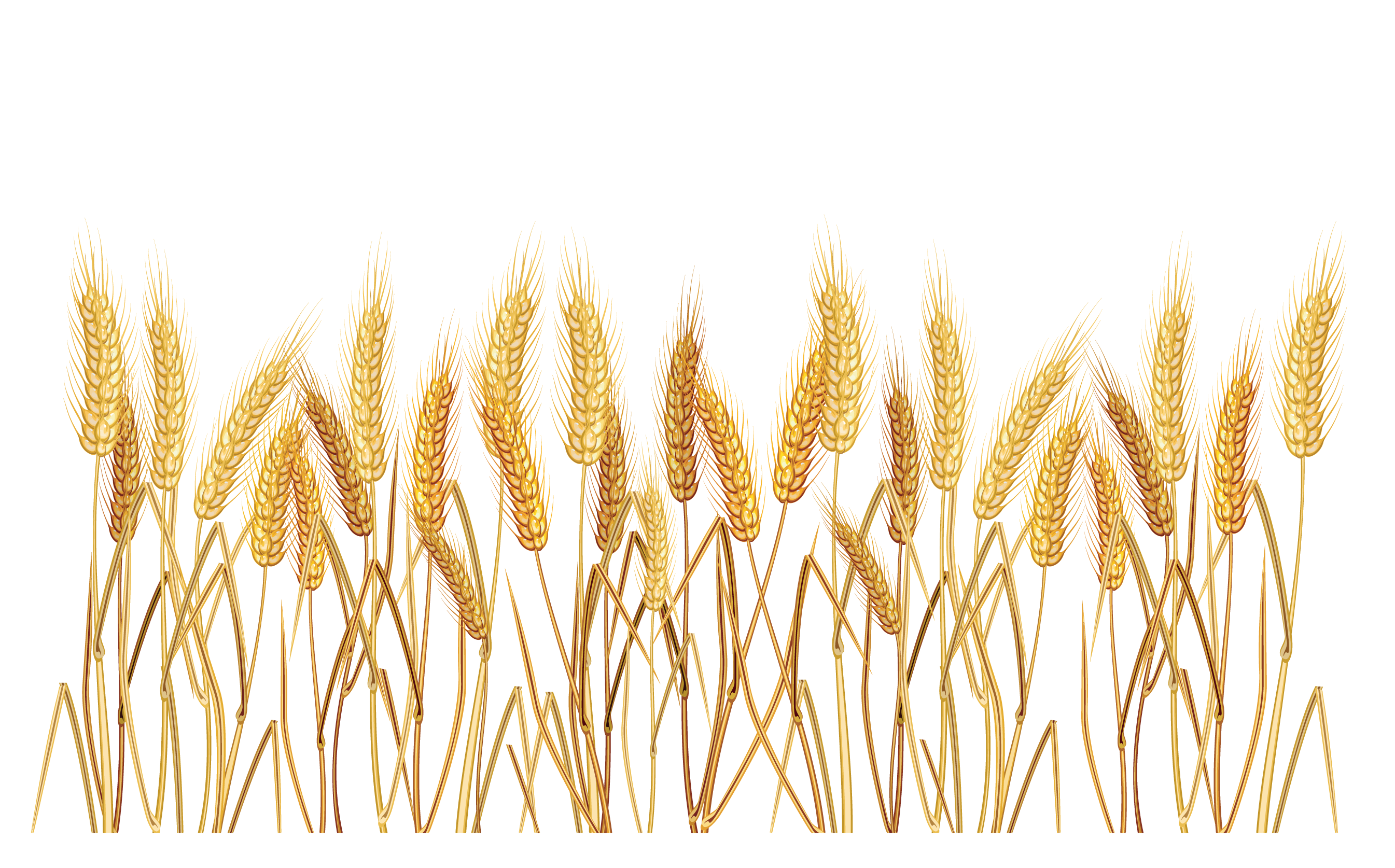 oat clipart wheat plant pencil and color oat clipart #16694
