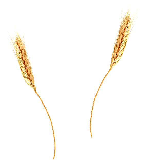 wheat agriculture barley photo pixabay #16645