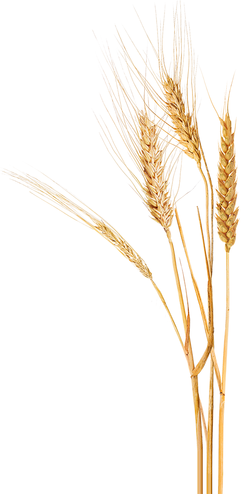 Wheat Transparent PNG Clipart Images Free Download - Free