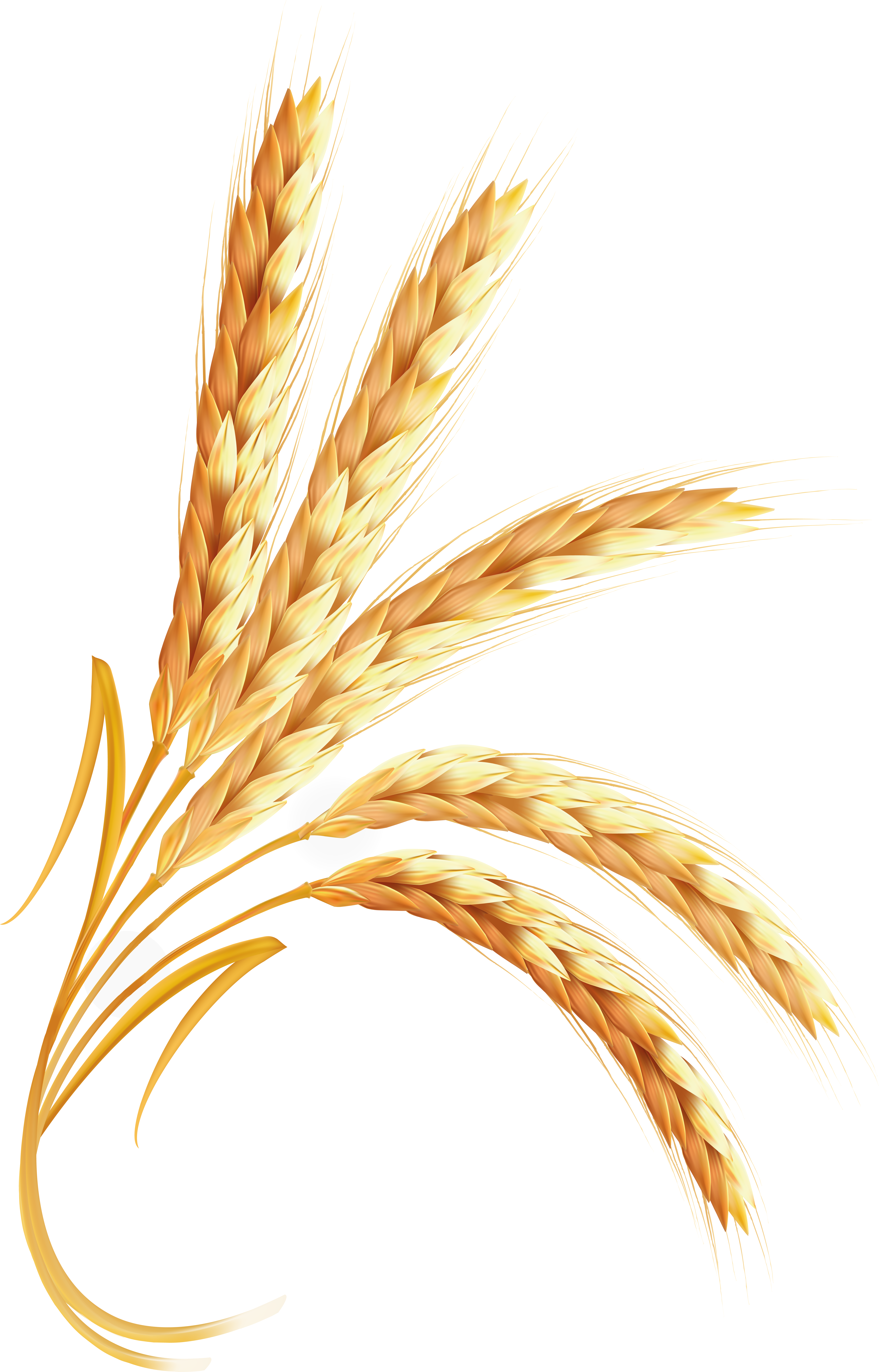 wheat png image purepng transparent png image #16647