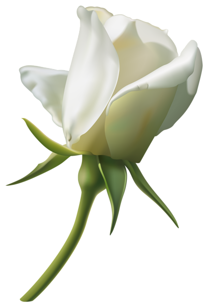 download white rose bud png image pngimg #19045