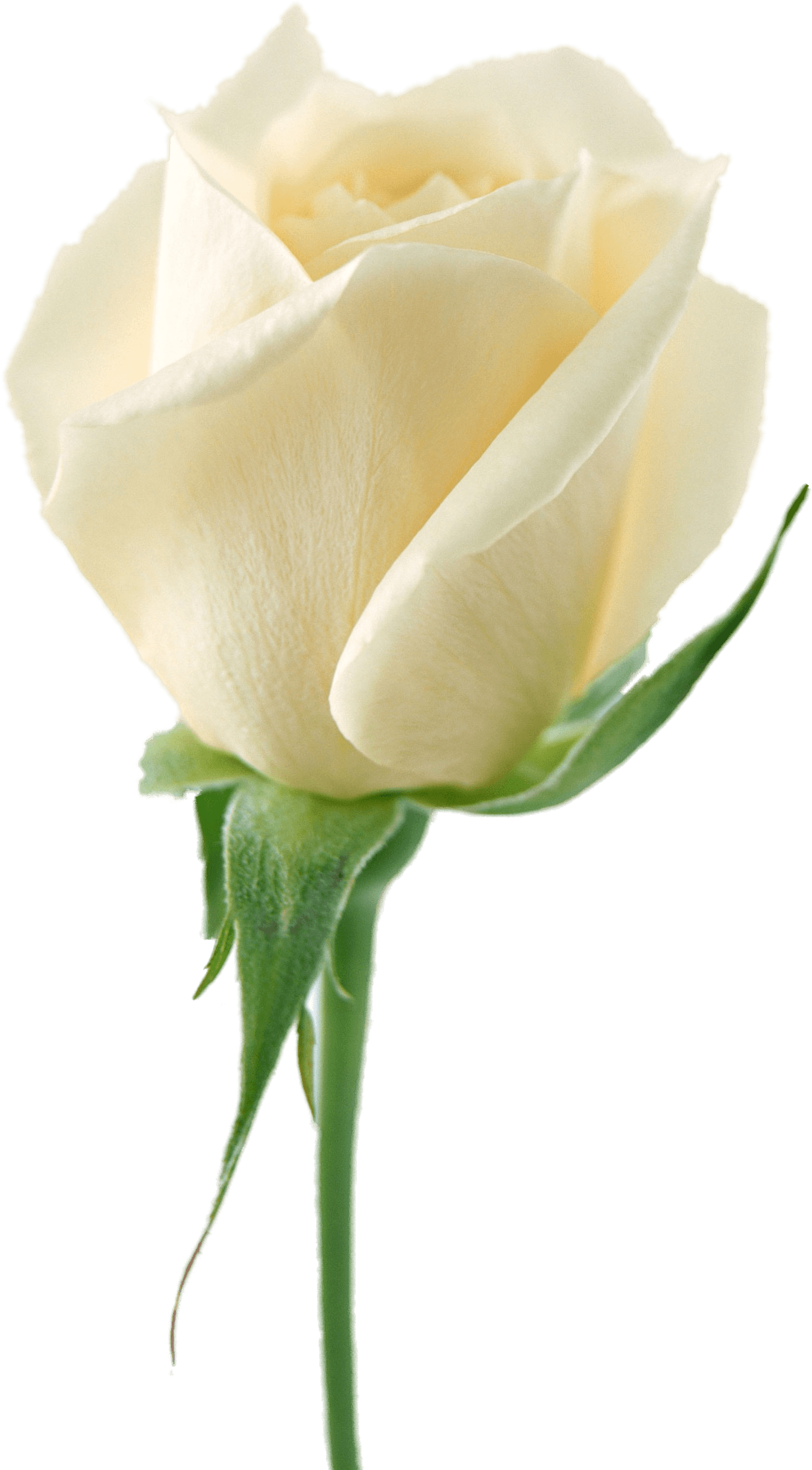 download white rose png image flower white rose png #19017
