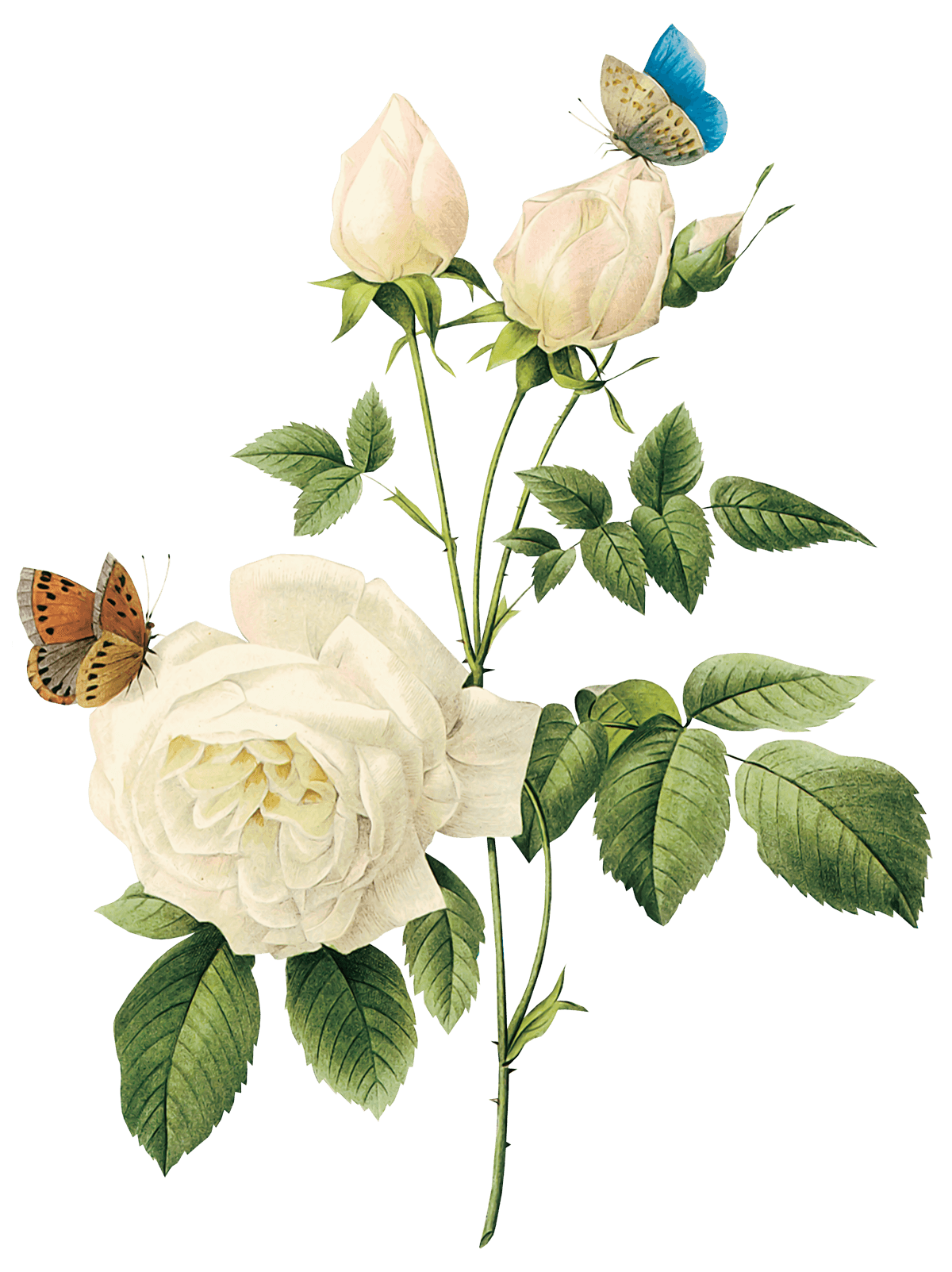 download white rose png image flower white rose png #19118