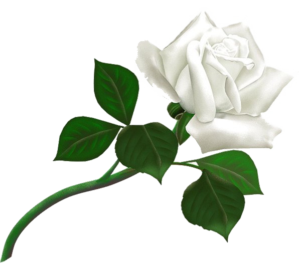 download white rose transparent background png image #19014