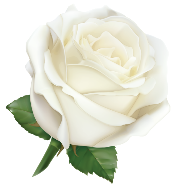 large white rose png clipart image gallery yopriceville #19028