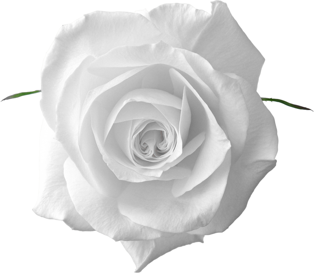 perfect white rose ufe ufe uaf #19024