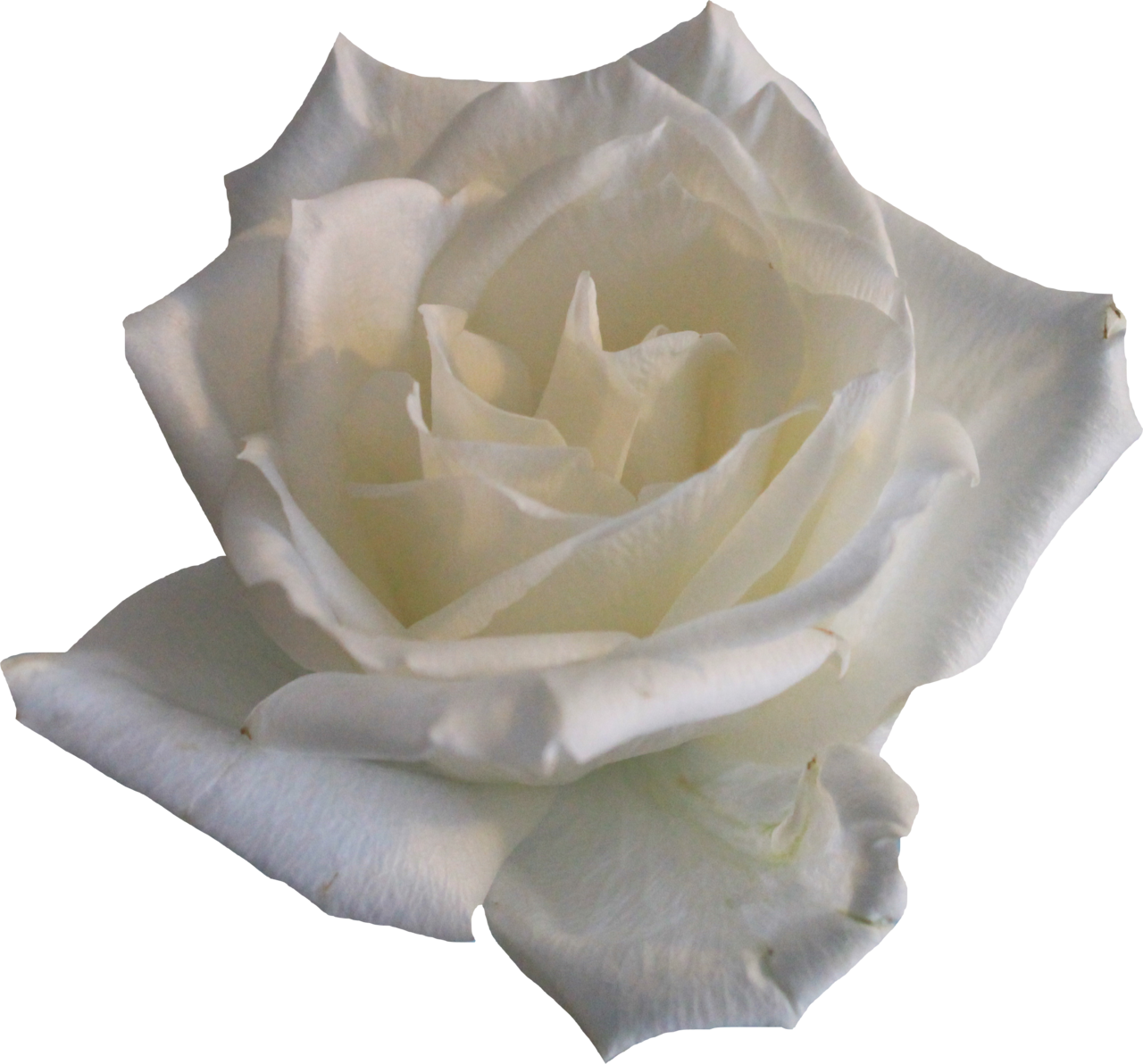 white rose, babe #19016