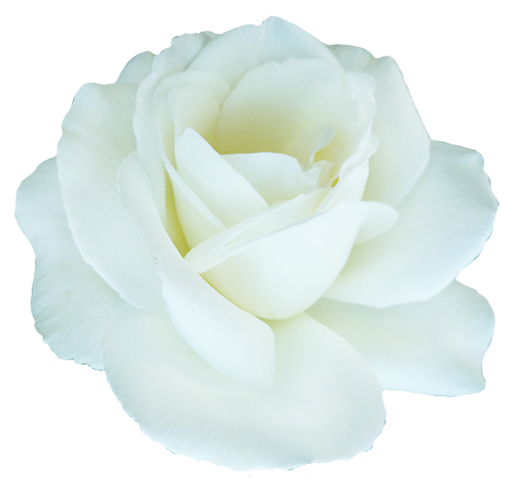 white rose, clipart valentine day roses #19015