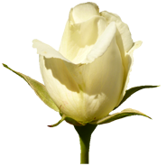 white rose, clipart valentine day roses #19099