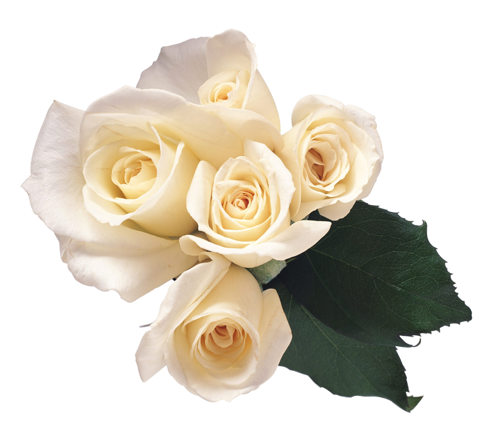 white rose, download yellow rose flower png transparent images #19075