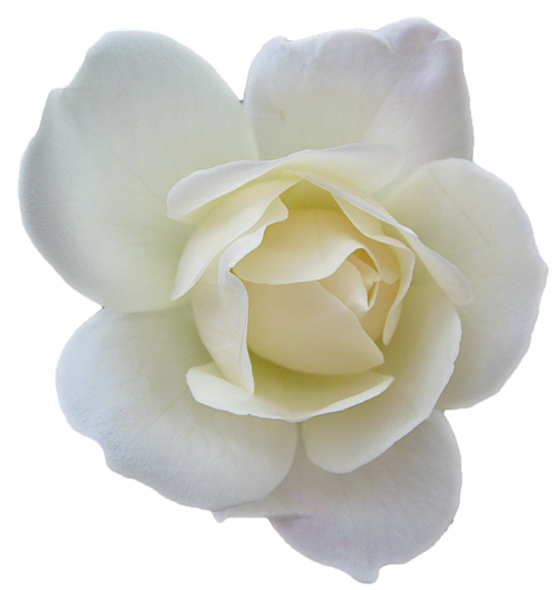white rose, flower rose white transparent images clkerm #19087