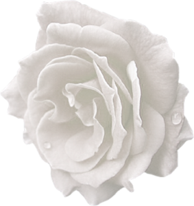 white rose, index users tbalze flower roses png #19124