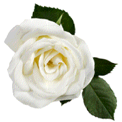 white rose, lanshire floral design flower design hatfield #19030