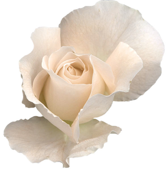white rose png clipart image gallery yopriceville high #19033