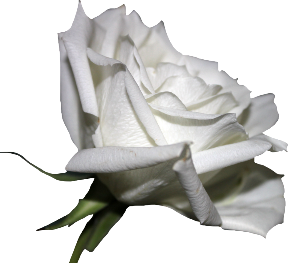 white rose png thy darkest hour deviantart #19050
