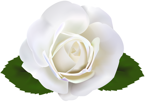 white rose transparent clip art image gallery #19018
