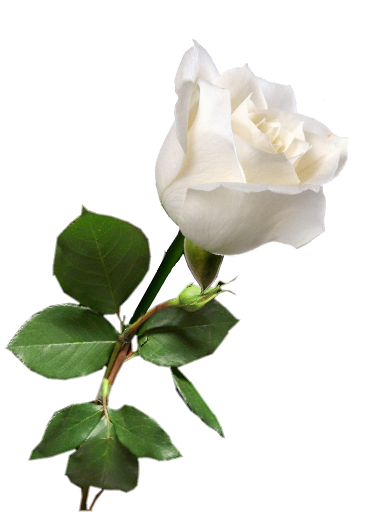 white rose, tumblr static steim rose white rosas #19029