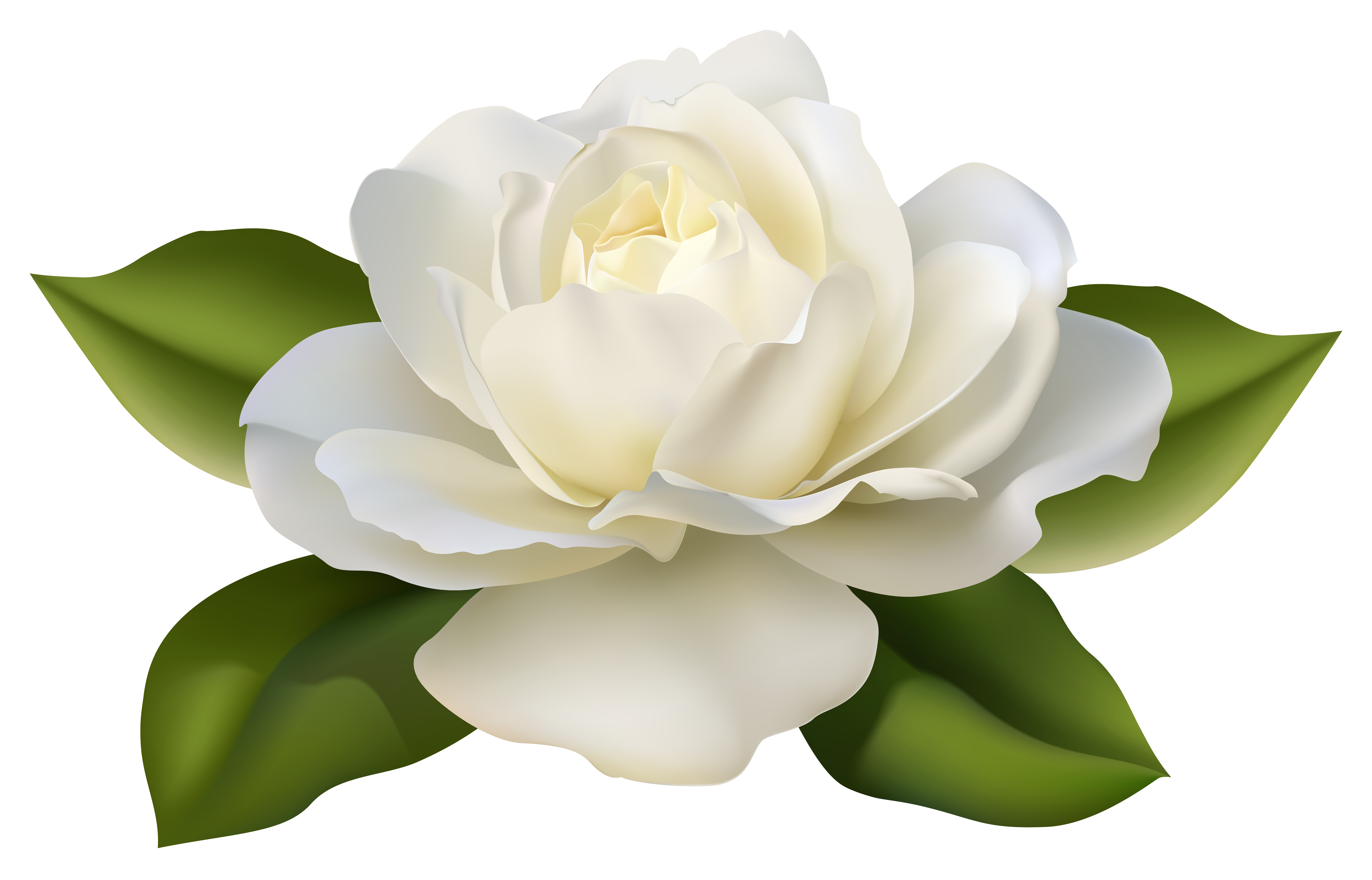 white rose, white roses pictures gallery impremedia #19057