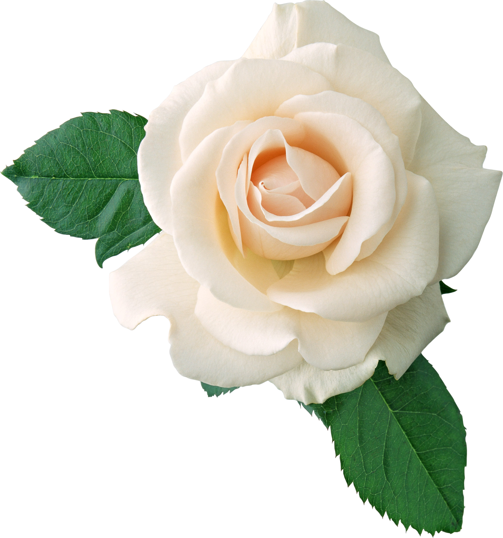 white rose, white roses png transparent white roses images pluspng #19025