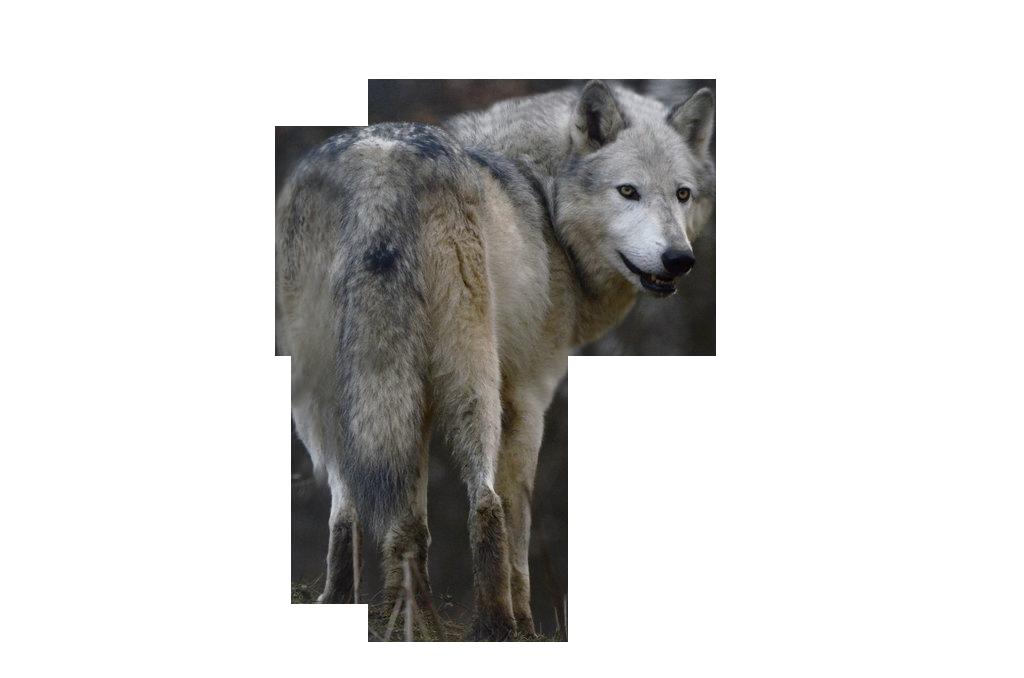 Wolf PNG Images, Free Download - Free Transparent PNG Logos
