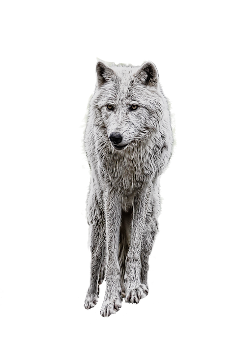 wolf photo manipulation white image pixabay #19478